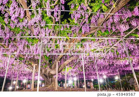 あしかがフラワーパーク 八重藤 ライトアップ (栃木県足利市) 2018年4月 45949567