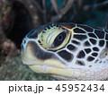 亀 ウミガメ 海中の写真 45952434
