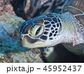 亀 ウミガメ 海中の写真 45952437