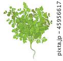 香菜 パセリ オランダゼリのイラスト 45956617