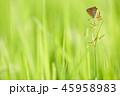昆虫 蝶 ベニシジミの写真 45958983