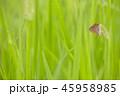 昆虫 蝶 草の写真 45958985