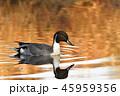 鳥 オナガガモ 水鳥の写真 45959356