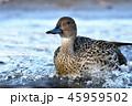 鳥 オナガガモ 鴨の写真 45959502