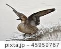 野鳥 鳥 オナガガモの写真 45959767