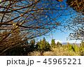 富士山 ミツマタ 春の写真 45965221