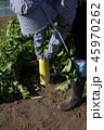 大根の収穫 45970262