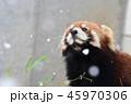 レッサーパンダ 動物 シセンレッサーパンダの写真 45970306