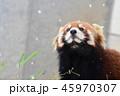 レッサーパンダ 動物 雪の写真 45970307