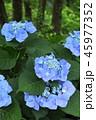 あじさい 紫陽花 花の写真 45977352