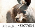 カンガルー 動物 陸上動物の写真 45977634