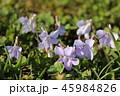 すみれ 花 草花の写真 45984826