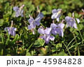 すみれ 花 草花の写真 45984828