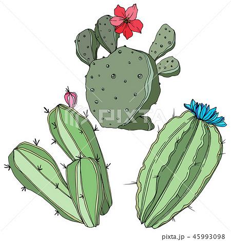 Vector Cactus. Floral botanical flower. Green engraved ink art. Isolated cacti illustration element. 45993098