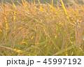 田畑 米 畑の写真 45997192