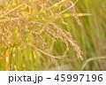 稲 米 綺麗の写真 45997196