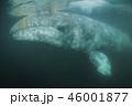 コククジラ 46001877