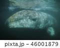 コククジラ 46001879