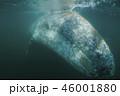 コククジラ 46001880