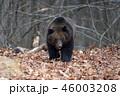 動物 野生動物 くまの写真 46003208
