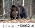 動物 野生動物 くまの写真 46003210