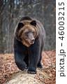 動物 野生動物 くまの写真 46003215