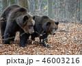 動物 野生動物 くまの写真 46003216