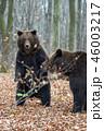 動物 野生動物 くまの写真 46003217