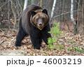 動物 野生動物 くまの写真 46003219