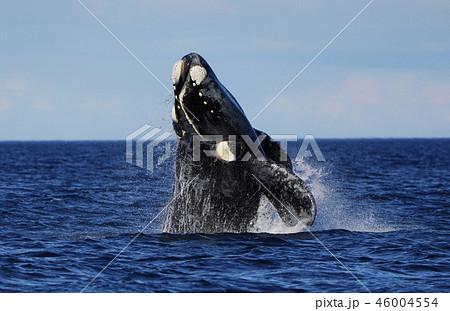 セミクジラ 46004554