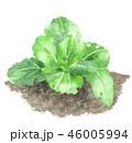 チンゲン菜 畑 46005994