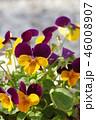 ビオラ 花 植物の写真 46008907