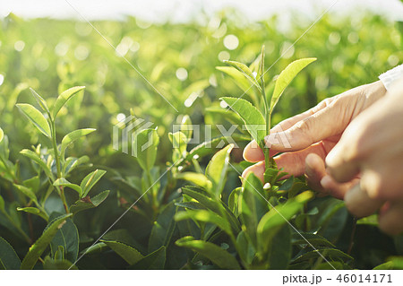 お茶 摘む 46014171
