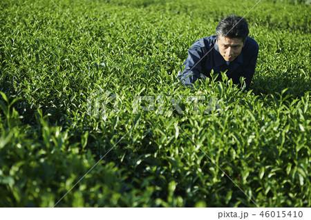 茶畑 生産者 男性 46015410