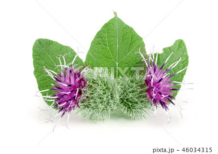 Burdock flower isolated on white background. Medicinal plant: Arctium 46034315