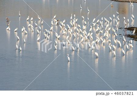 サギの群れ 滋賀県高島市 安曇川 46037821
