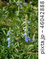 ブルーサルビア サルビア 花の写真 46042888