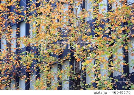 大阪堺筋の秋の街路樹ユリノキ 46049576