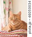 窓際の座布団にのった茶トラ猫のムギ 46050034