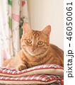 窓際の座布団にのった茶トラ猫のムギ 46050061