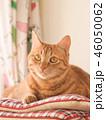 窓際の座布団にのった茶トラ猫のムギ 46050062