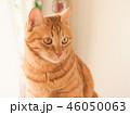窓際の座布団にのった茶トラ猫のムギ 46050063