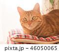 窓際の座布団にのった茶トラ猫のムギ 46050065