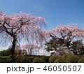 満開の枝垂れ桜 46050507