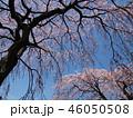 満開の枝垂れ桜と青空 46050508