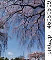 垂れる桜と春の青空 46050509
