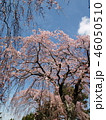 満開の枝垂れ桜と春の青空 46050510