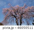 満開の枝垂れ桜と春の青空 46050511