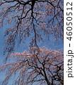 満開の枝垂れ桜と春の青空 46050512