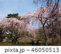 春の青空と満開な枝垂れ桜 46050513